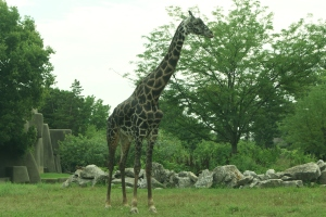 I LOVE giraffes.  This guy was simply extraordinary.  We had such a great view of him.